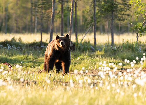 Bear photography in Kuhmo, Finland