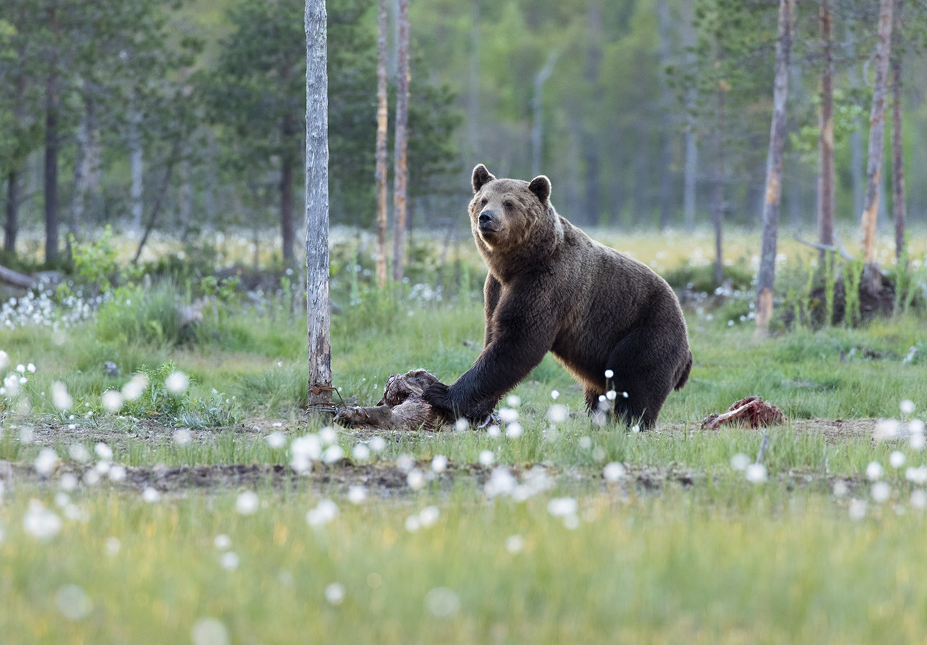 Wild brown bear at Wildlife safari Finland photography hides, Kuhmo, Finland