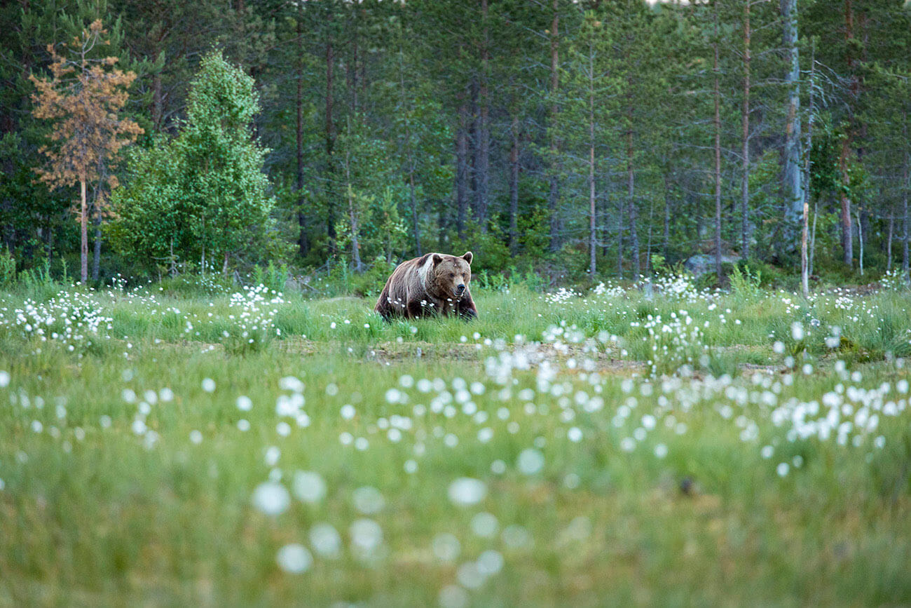 Angry male brown bear in Kuhmo, Finland