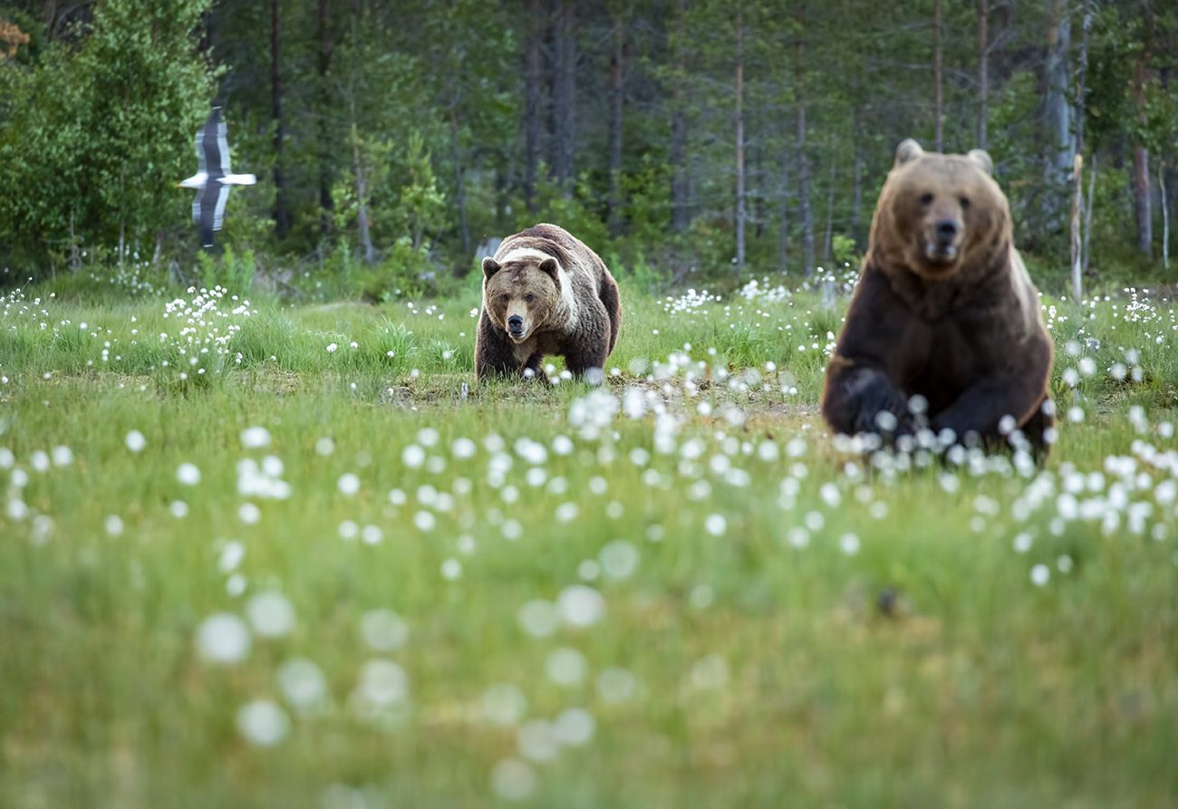 Brown bear chase, Kuhmo, Finland