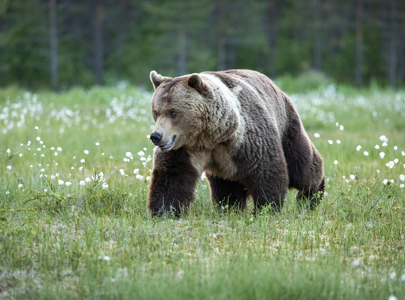 Big male brown bear, Kuhmo, Finland