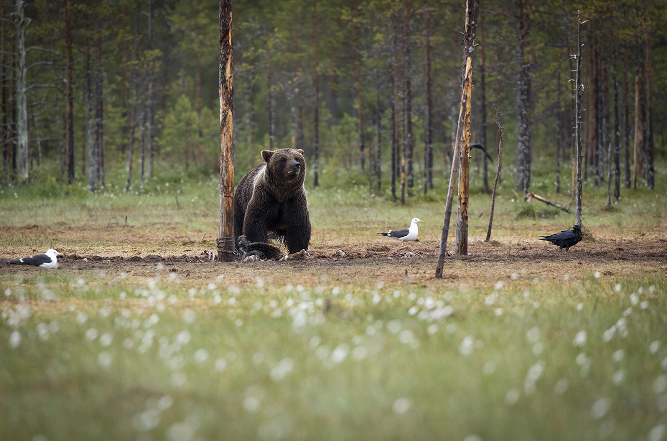 Wild brown bear feeding on a carcass, Kuhmo, Finland