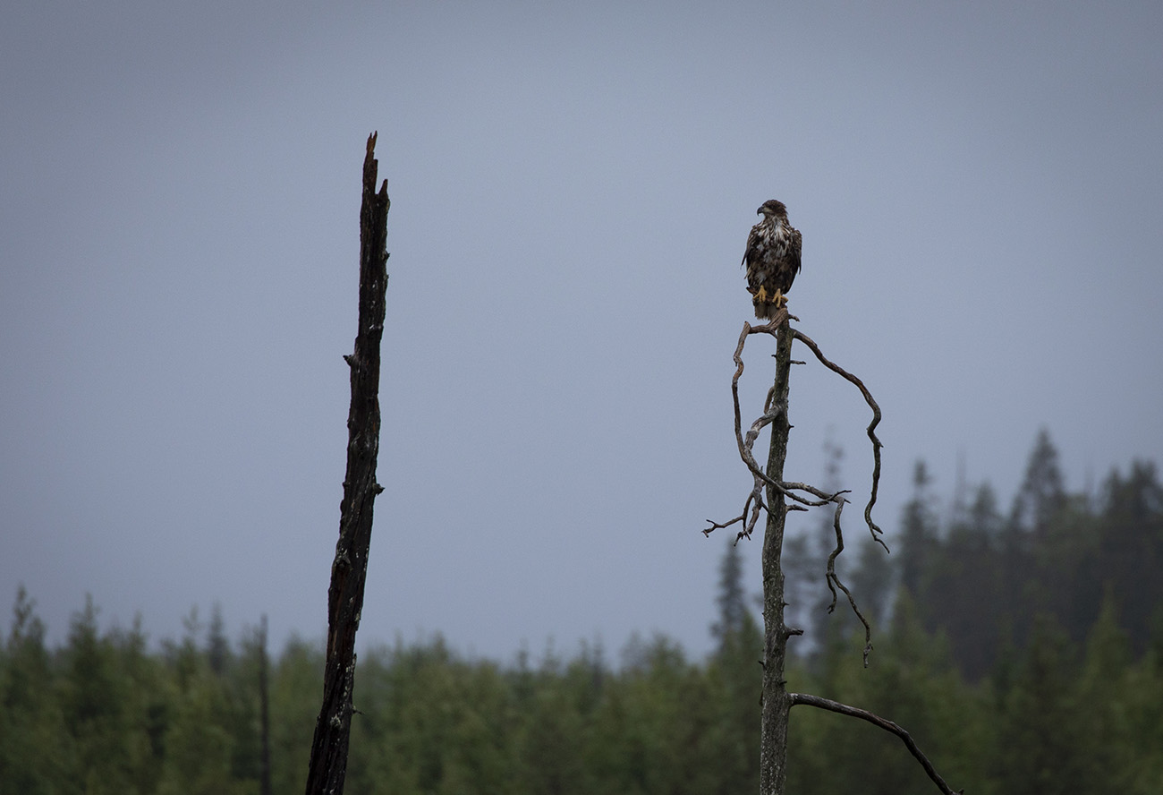 White tailed eagle, Kuhmo, Finland