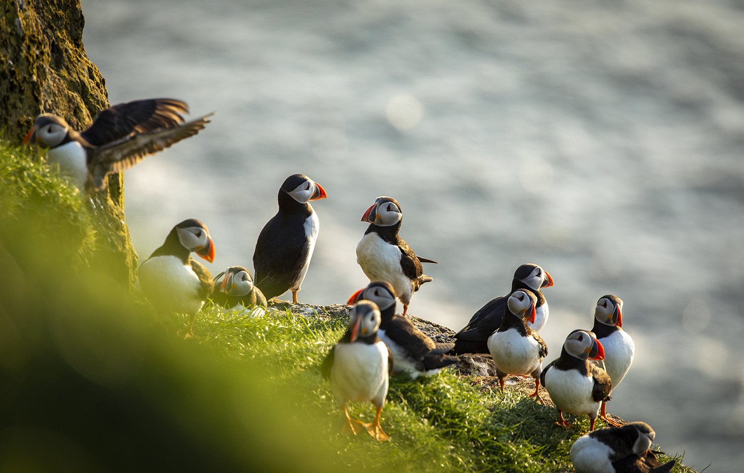Alantic puffin colony, Faroe Islands