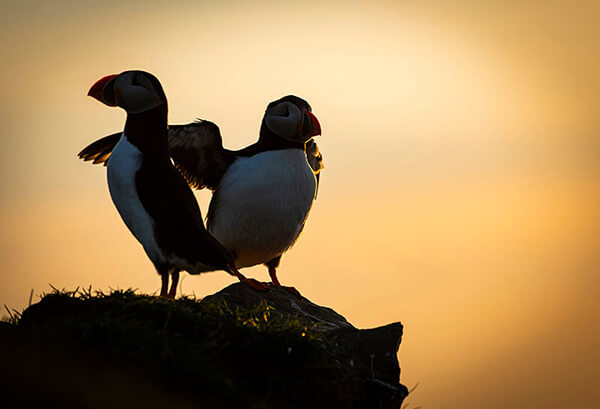 Sunset with puffins, Mykines, Faroe Islands
