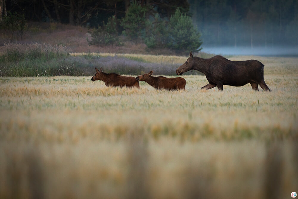Mother moose with calves, Porkkalanniemi, Finland