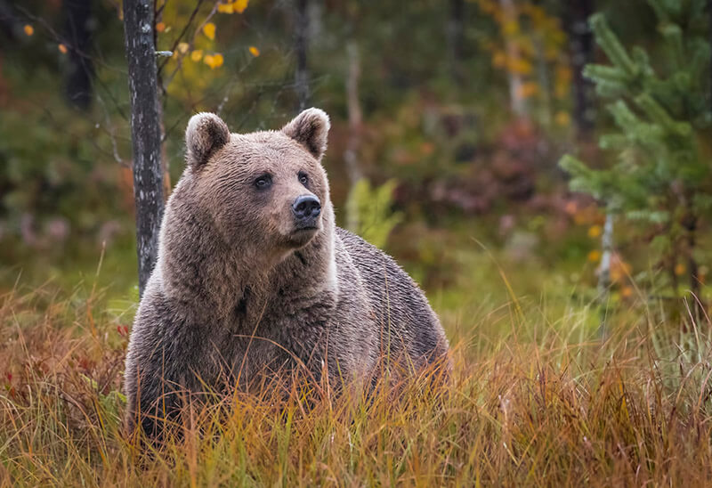 Wild brown bear in Kuhmo, Finland