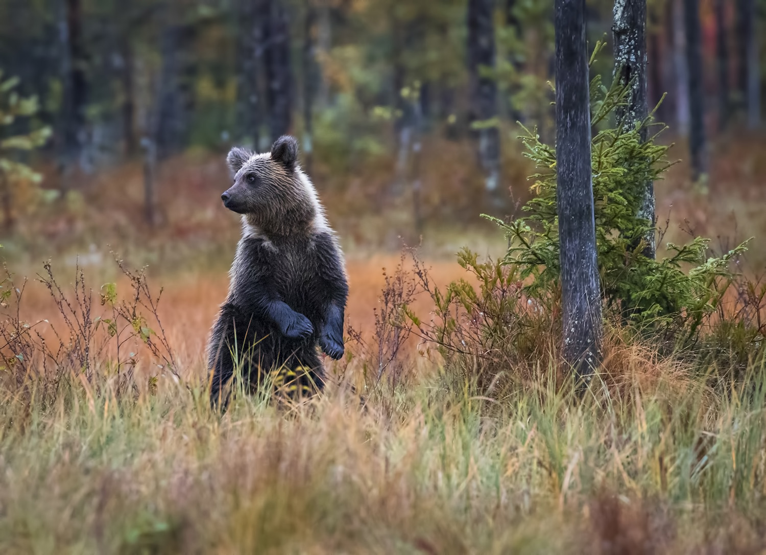 Wild brown bear cub, Kuhmo, Finland