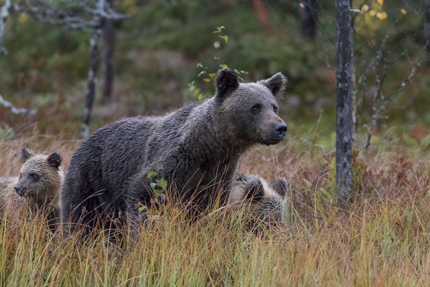 Wild bear with cubs in Kuhmo, Finland