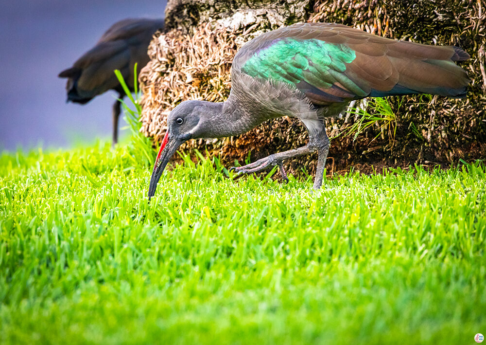 Hadada Ibis, Morro Jable, Best Places to See and Photograph on Jandia Peninsula, Fuerteventura