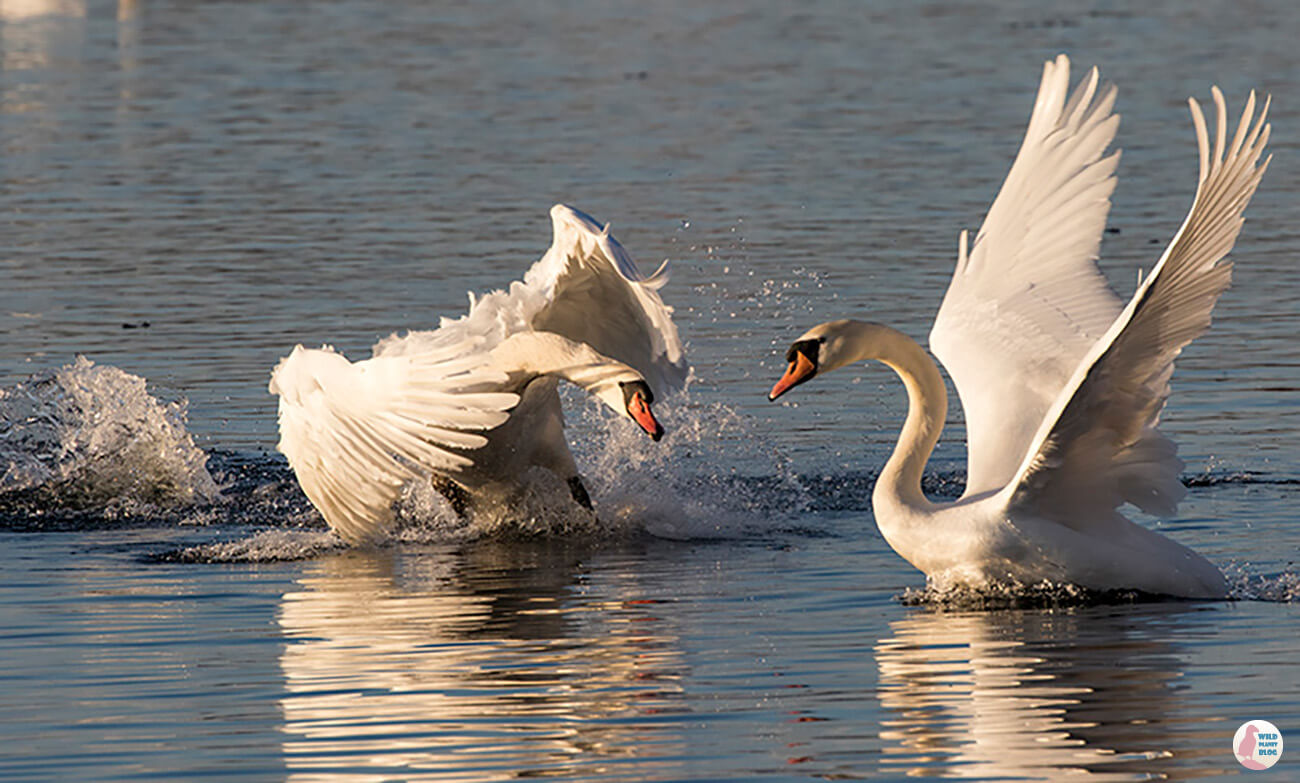 Mute swans fighting, Lauttasaari, Helsinki