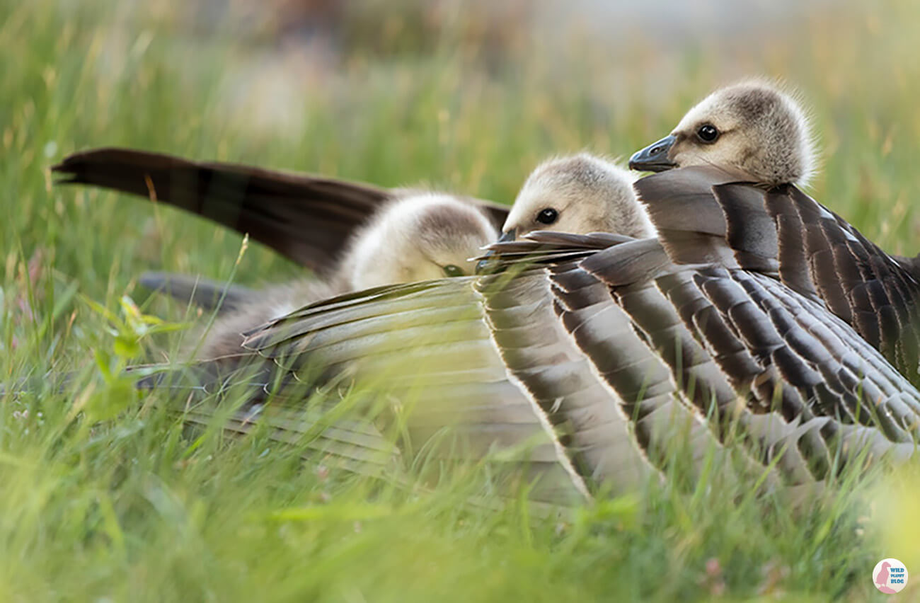 Barnacle goose chicks under mama's wing, Hanasaari, Espoo
