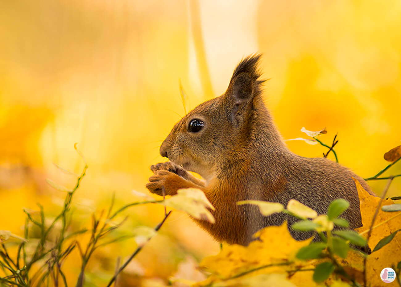 Red squirrel and autumn colors, Seurasaari, Helsinki