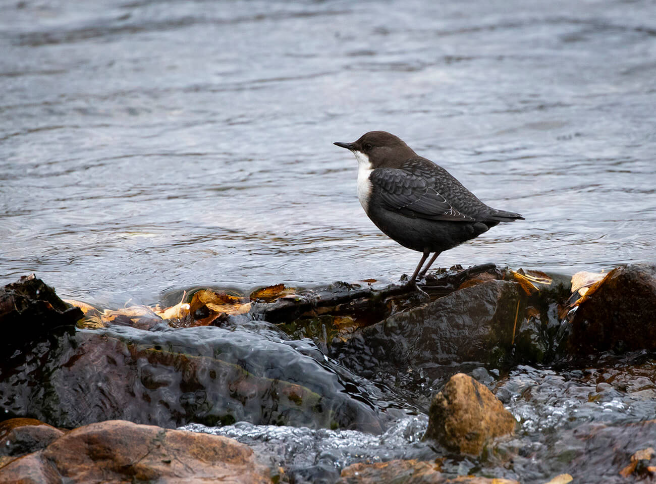 White-Throated Dipper, Inari, Finland