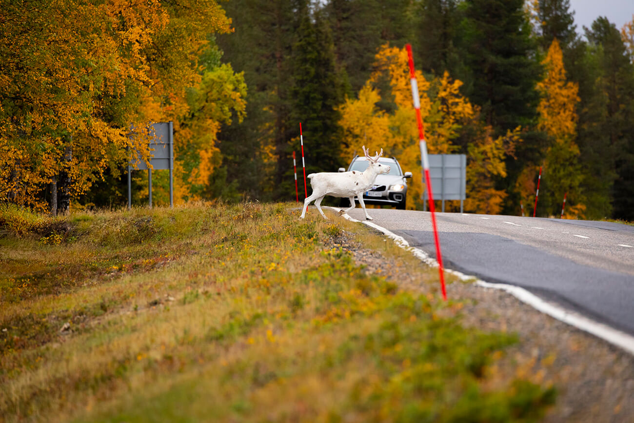 Reindeer crossing the street in Inari, Lapland, Finland