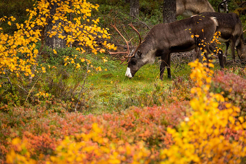 Reindeer surrounded by autumn colors, Lapland, Finland