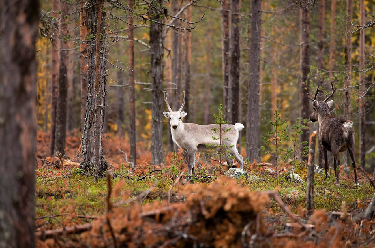 Reindeer in the forest, Muonio area, Lapland, Finland