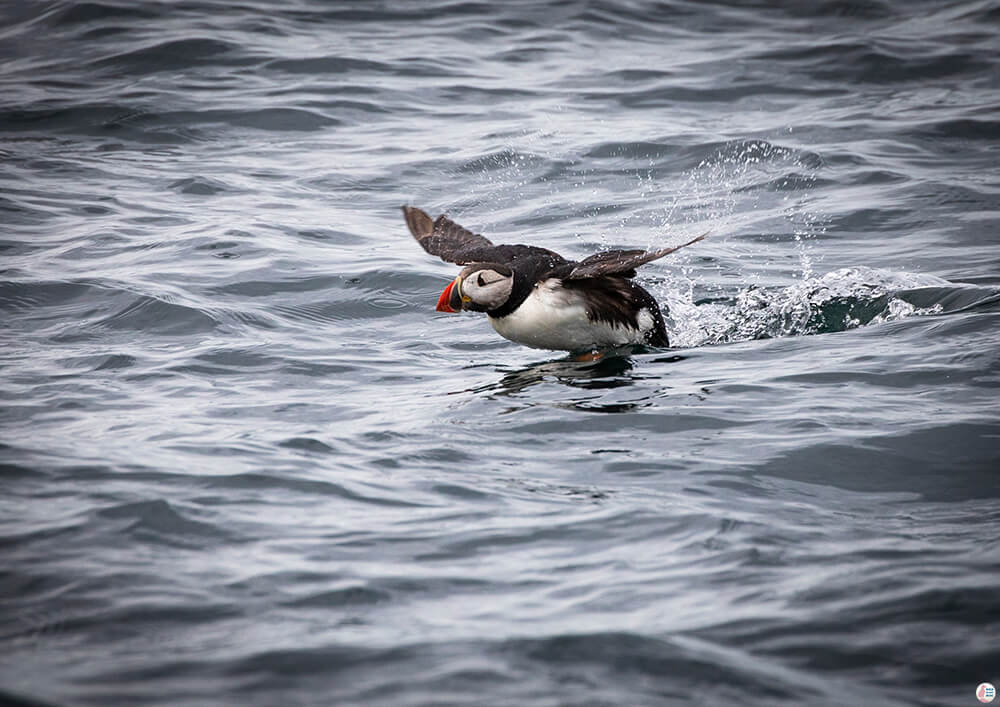 Atlantic puffin flying off the edge of the water around Bleiksøya bird rock, Bleik, Andøya, Northern Norway