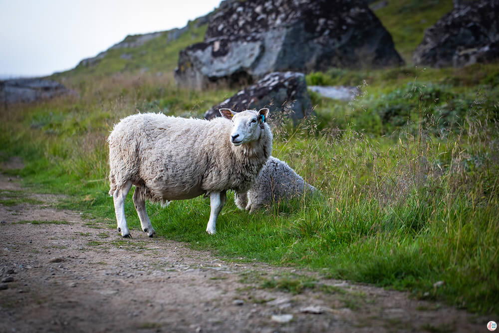 Friendly sheep on Ryten hiking trail, Moskenesøya, Lofoten, Norway