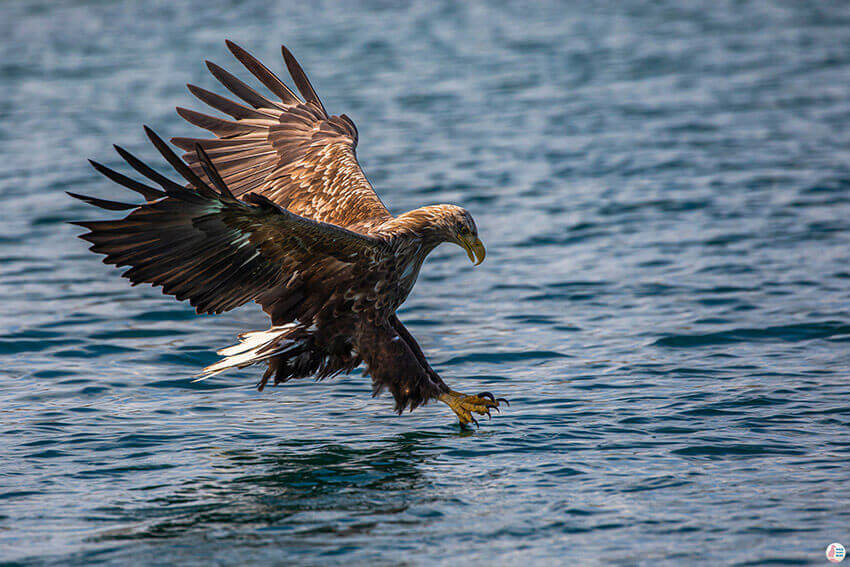 White tailed eagle diving for fish during sea eagle safari from Svolvær, Lofoten, Northern Norway