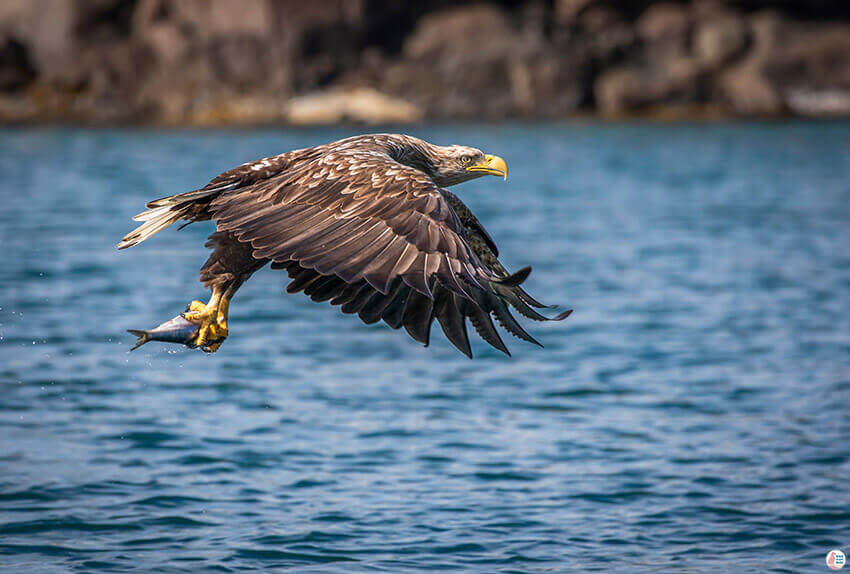 White tailed eagle with fish during sea eagle safari from Svolvær, Lofoten, Northern Norway