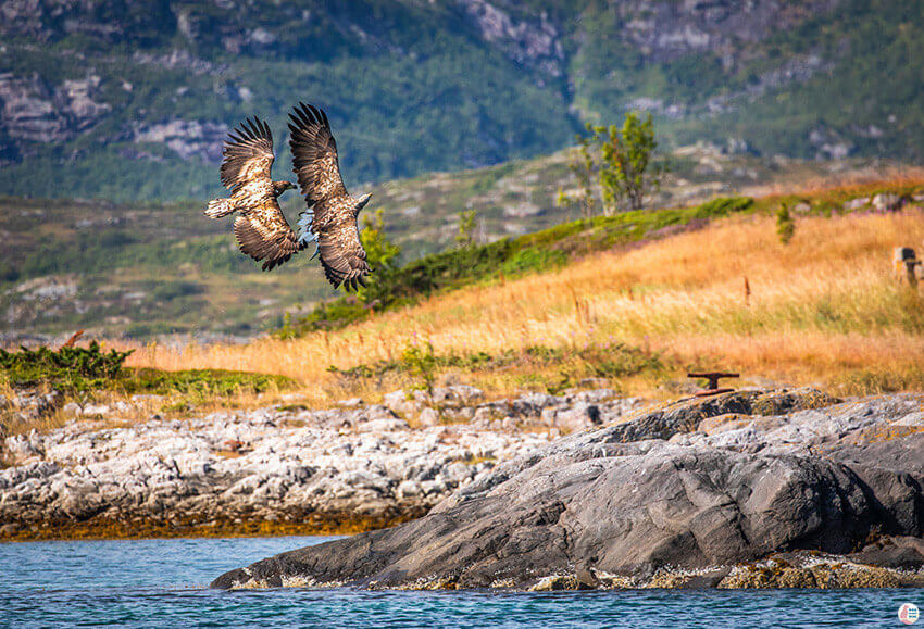 White-tailed eagles fighting over fish in Raftsundet, Svolvær, Lofoten, Northern Norway