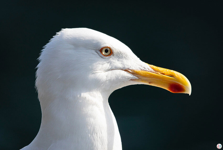 Seagull portrait during sea eagle safari from Svolvær, Lofoten, Northern Norway