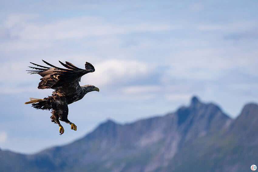 White-tailed eagle, during sea eagle safari from Svolvær, Lofoten, Northern Norway
