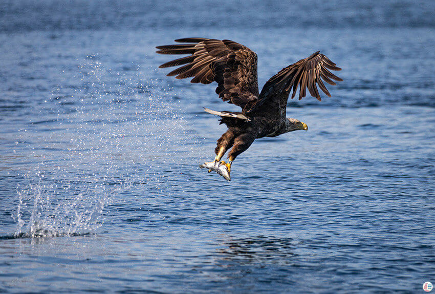 Sea eagle with fish in Raftsundet, Svolvær, Lofoten, Northern Norway
