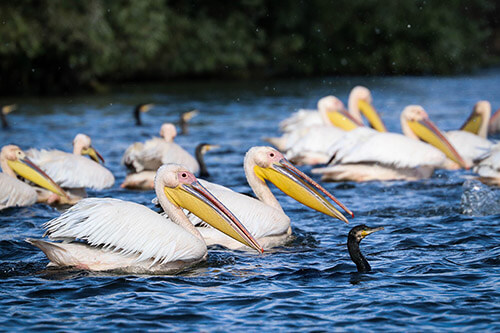 More than 50% of the great white pelicans in Europe can be found in Danube Delta