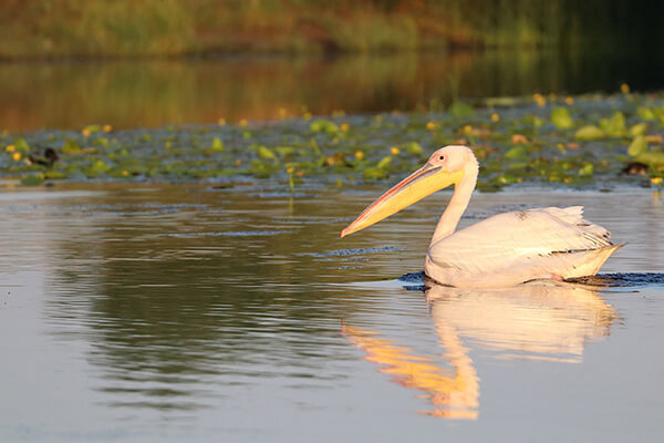 Great White Pelican in Danube Delta, Romania