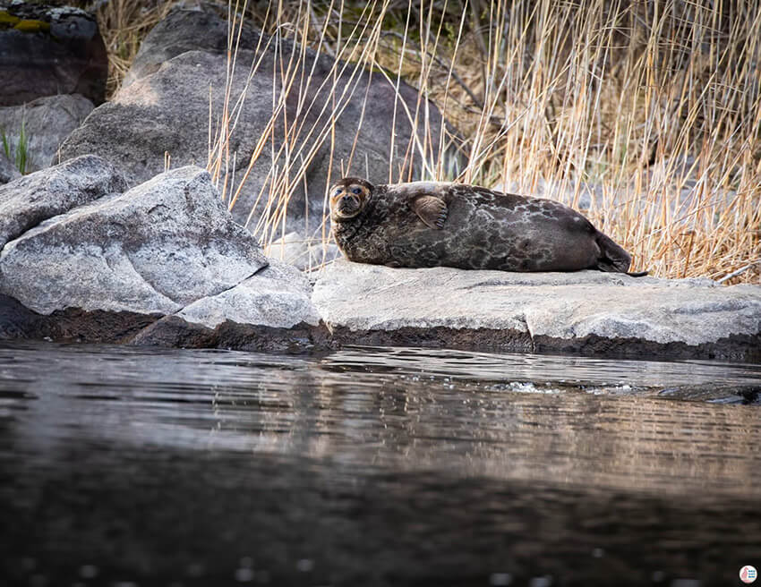 Saimaa Ringed Seal resting on a rock close to Oravi, Finland