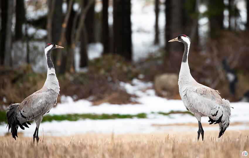 Common cranes in Oravi, Finland