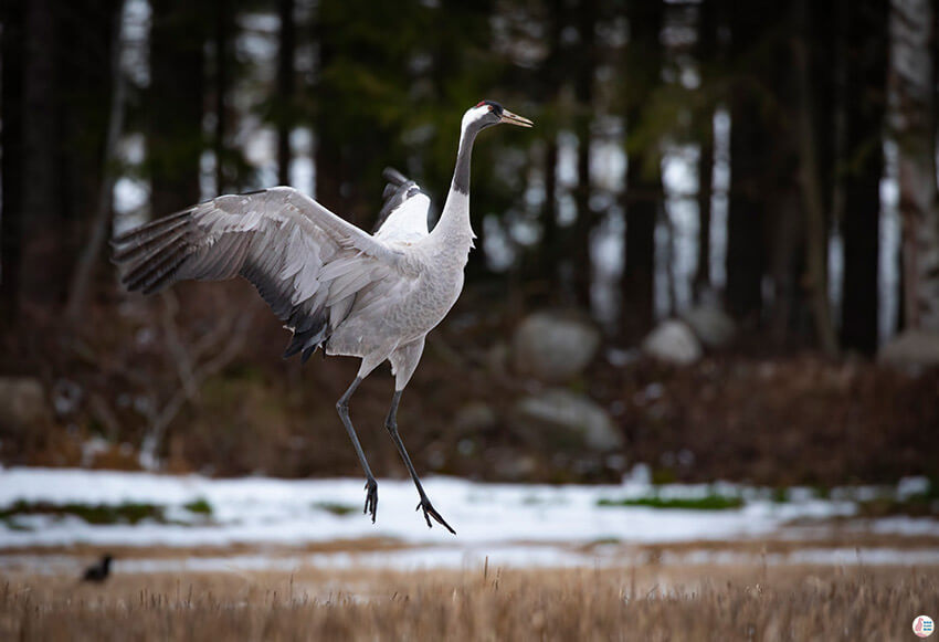 Common crane dancing for its partner, Oravi, Finland