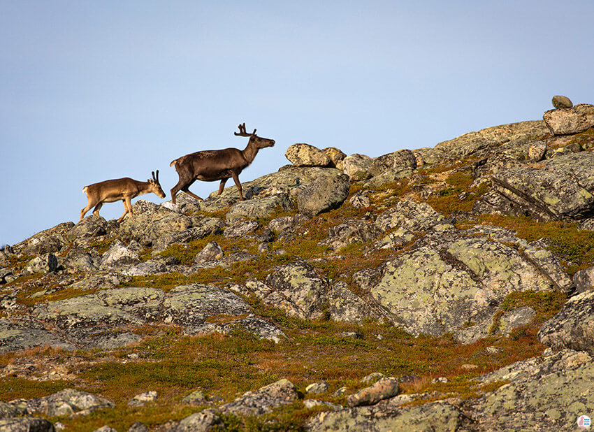 Reindeers on Saana hiking trail, Kilpisjärvi, Lapland, Finland