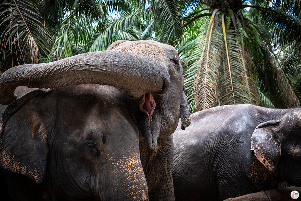 Young female being restless at Krabi Elephant Sanctuary, Thailand