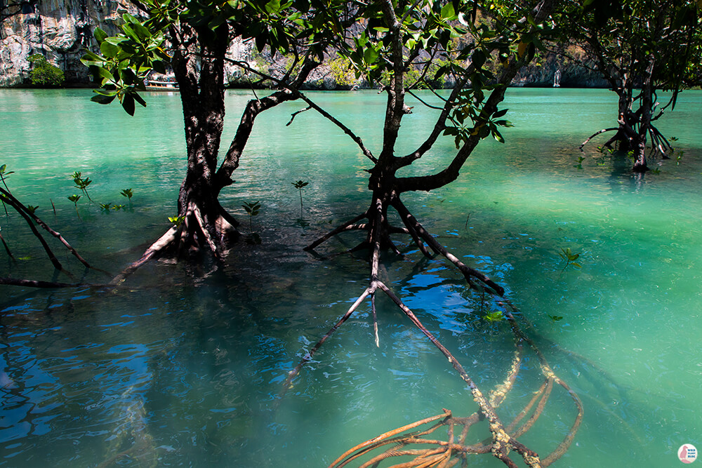 Trees in Hong Island Lagoon, Hong Islands, Krabi Province, Thailand