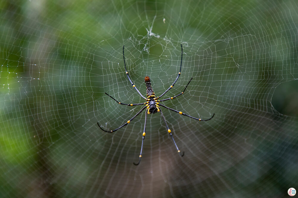 Giant spider on Hong Island, Krabi, Thailand