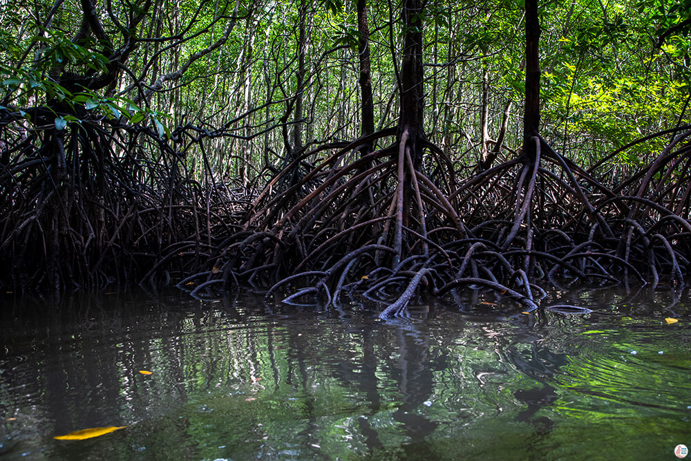 Mangrove forest on the Tha Pring River, Than Bok Khorani National Park, Krabi, Thailand